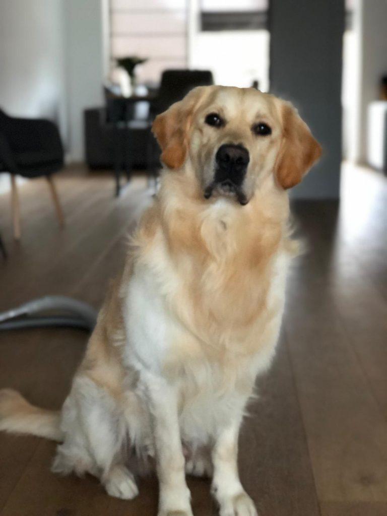 Het verharen van je hond of Golden Retriever