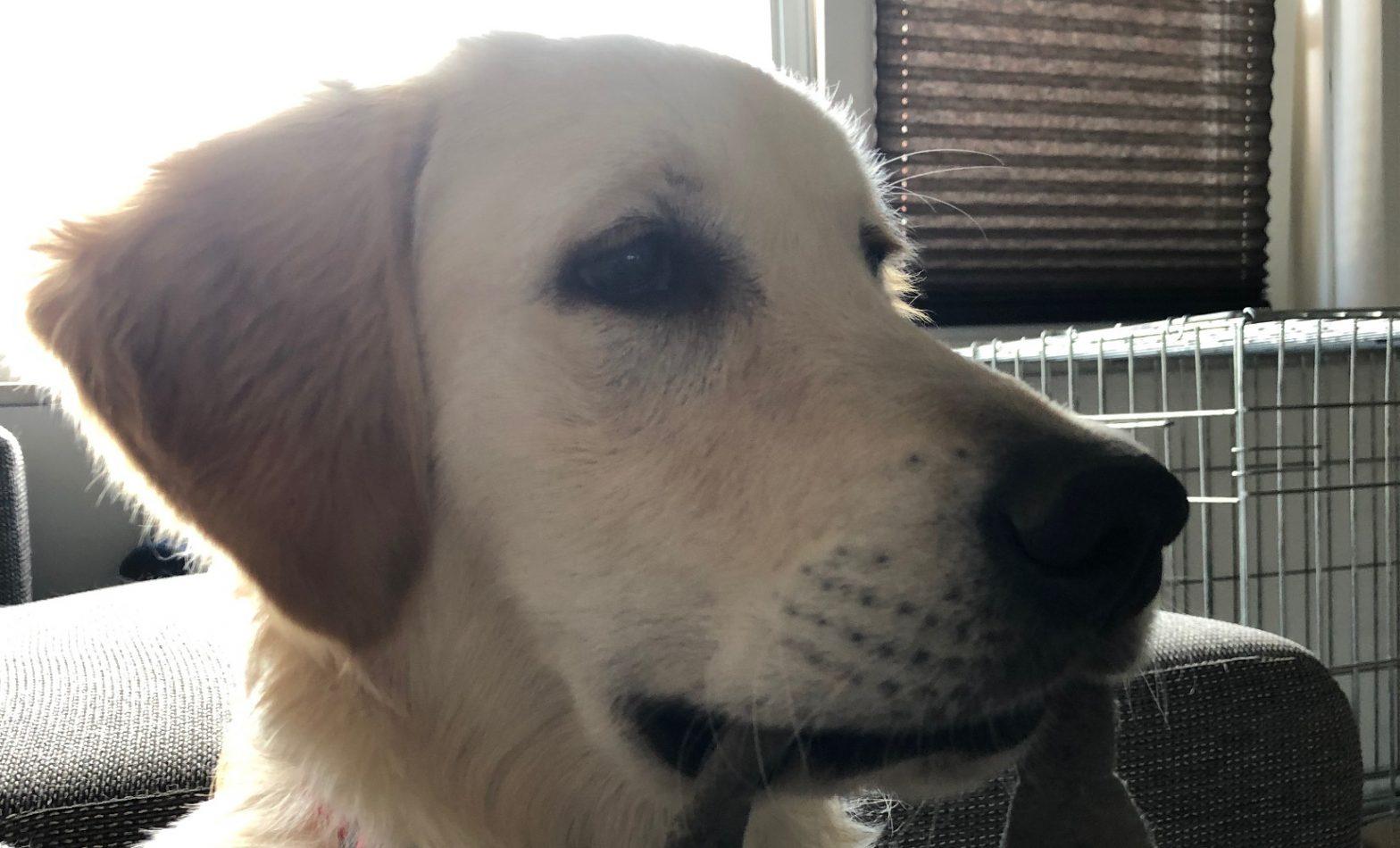 Hondenverzekering afsluiten voor Golden Retrievers